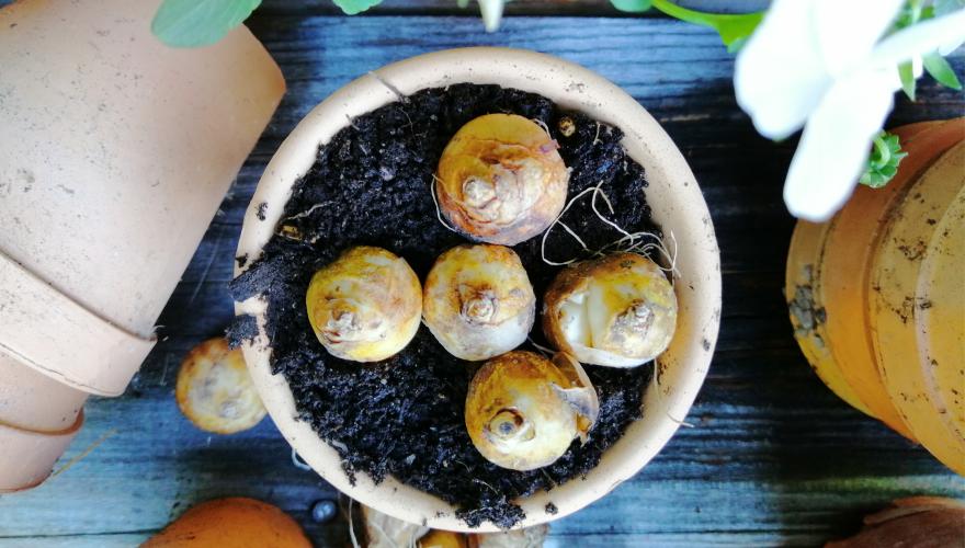 Jerneja Jošar: Čebulice za lepšo pomlad